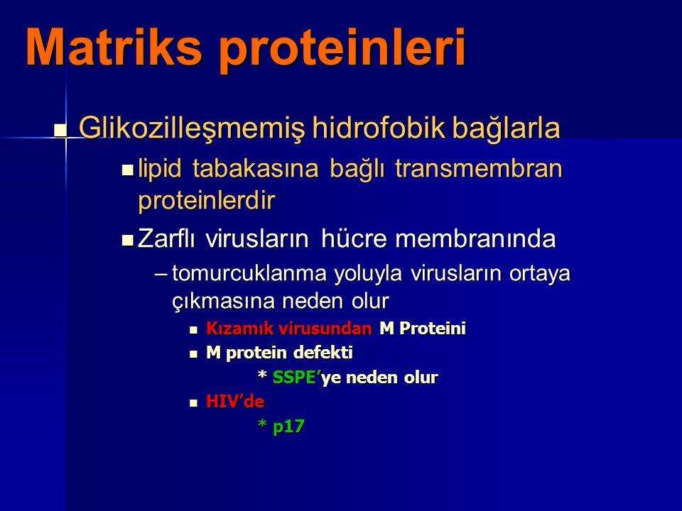 Matriks proteinleri Glikozilleşmemiş hidrofobik bağlarla Glikozilleşmemiş hidrofobik bağlarla lipid tabakasına bağlı transmembran proteinlerdir lipid