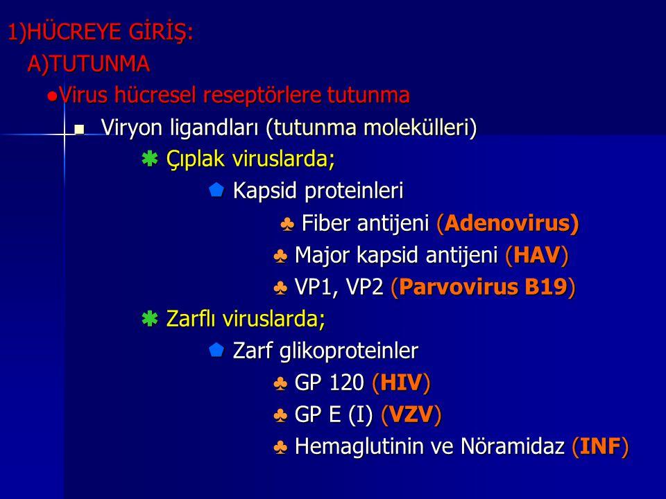 1)HÜCREYE GİRİŞ: A)TUTUNMA A)TUTUNMA ● Virus hücresel reseptörlere tutunma Viryon ligandları (tutunma molekülleri) Viryon ligandları (tutunma moleküll