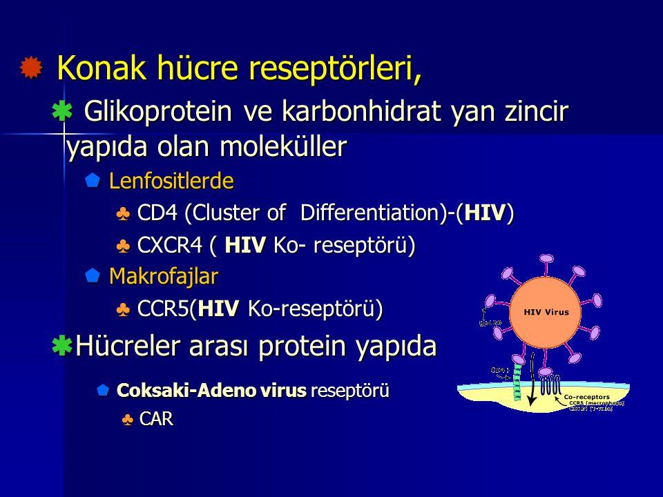  Konak hücre reseptörleri,  Glikoprotein ve karbonhidrat yan zincir yapıda olan moleküller  Lenfositlerde ♣ CD4 (Cluster of Differentiation)-(HIV)