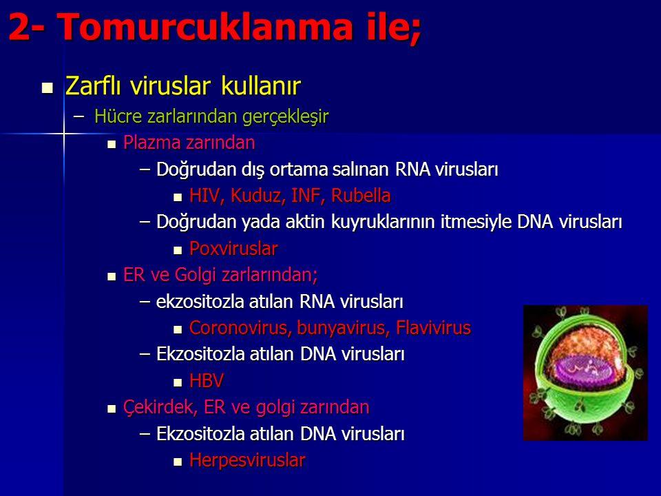 2- Tomurcuklanma ile; Zarflı viruslar kullanır Zarflı viruslar kullanır –Hücre zarlarından gerçekleşir Plazma zarından Plazma zarından –Doğrudan dış o
