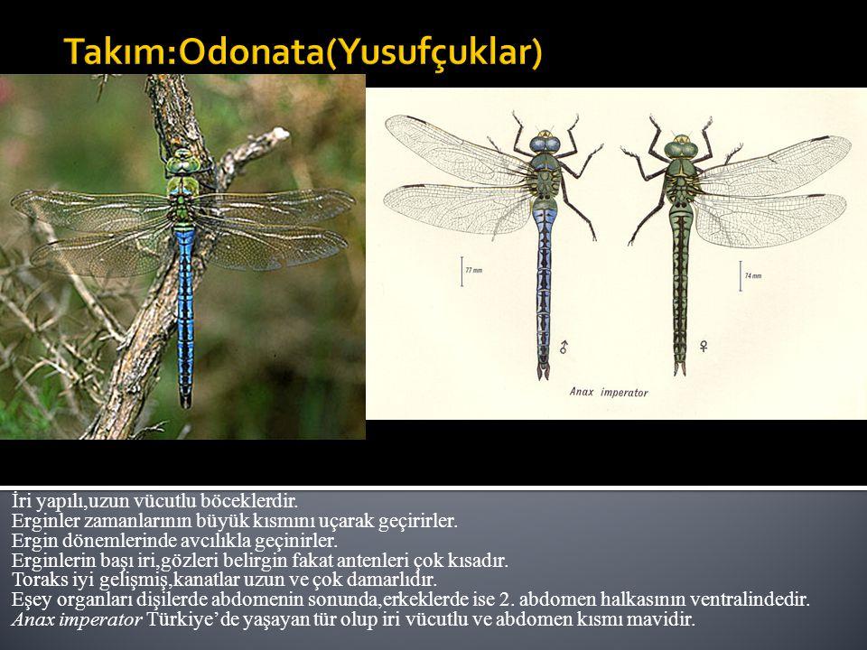 İri yapılı,uzun vücutlu böceklerdir.Erginler zamanlarının büyük kısmını uçarak geçirirler.