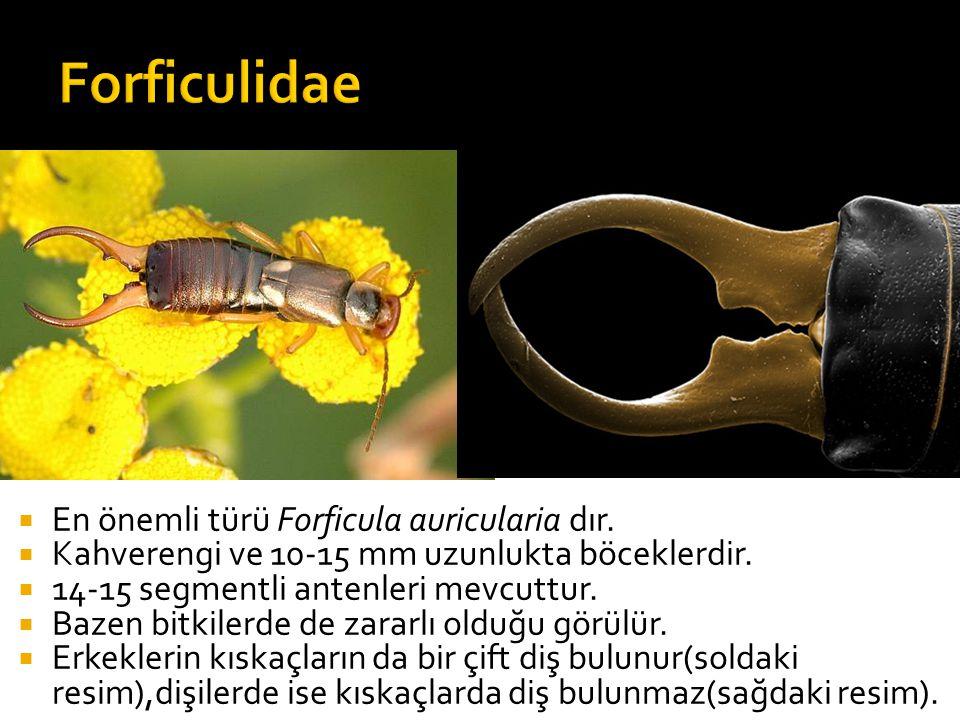  En önemli türü Forficula auricularia dır. Kahverengi ve 10-15 mm uzunlukta böceklerdir.
