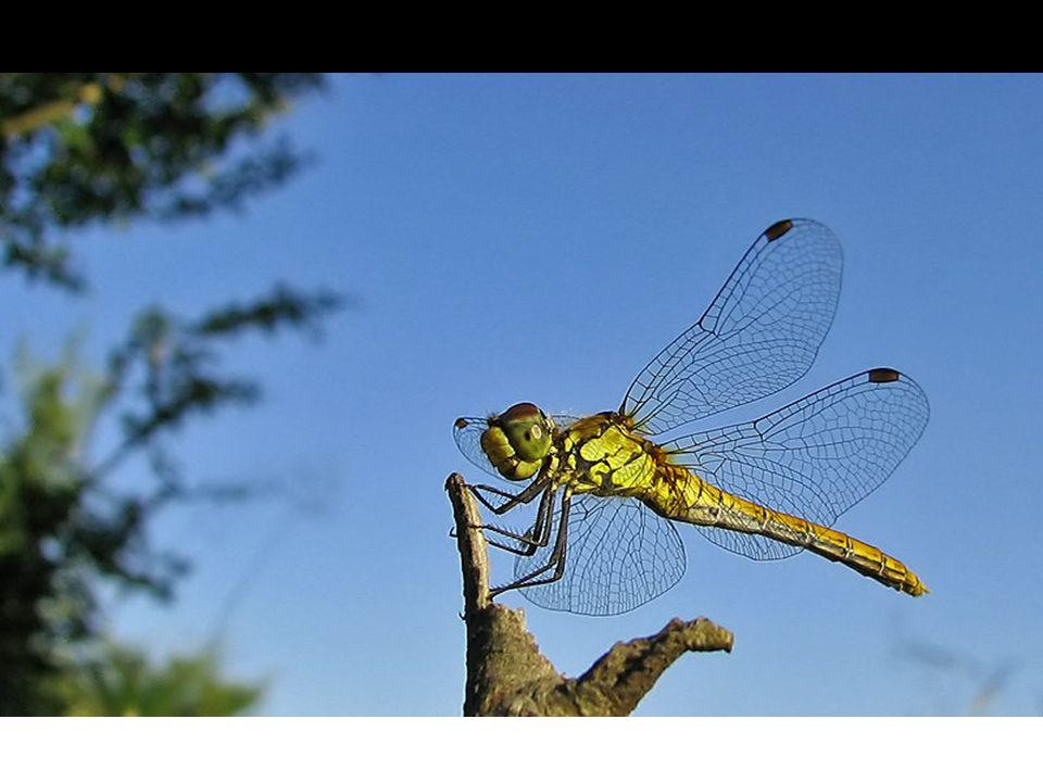  Takım içindeki çoğu tür fitofagtır. Zirai yönden önemli zararlılar bulunmaktadır.
