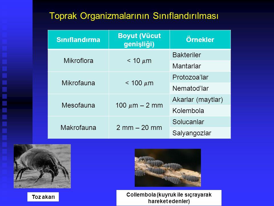 Nitrifikasyon bakterileri – Amonyum yükseltgenicileri (NH 3 'ün oksitlenmesi) Nitrat indirgeyiciler – nitratın anaerobik ortamda indirgenmesi N 2 bağlayıcılar – Havanın serbest azotunu indirgeyerek organik azot formlarına dönüştürürler Toprak Canlıları Bakteriler Aracılığı ile Toprak Sisteminde Oluşan Dönüşümler (Tepkimeler)