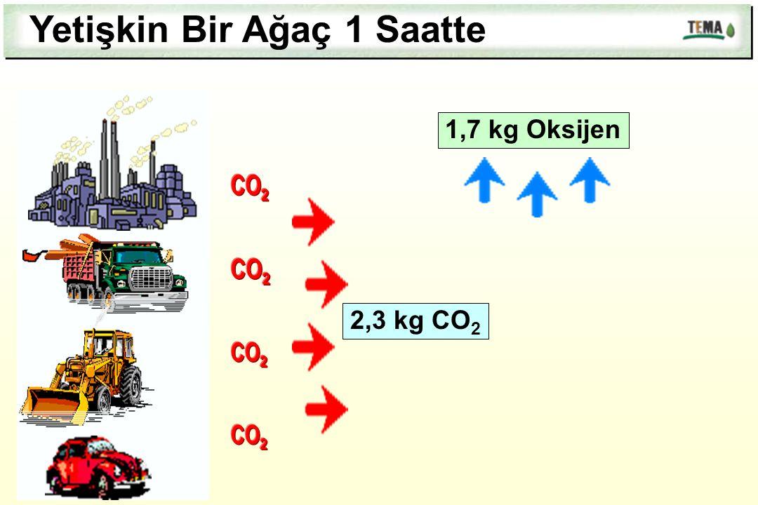 1,7 kg Oksijen Yetişkin Bir Ağaç 1 Saatte 2,3 kg CO 2