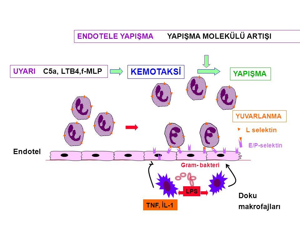 TNF, İL-1 LPS E/P-selektin L selektin YUVARLANMA Endotel Doku makrofajları Gram- bakteri UYARI C5a, LTB4,f-MLP YAPIŞMA KEMOTAKSİ ENDOTELE YAPIŞMA YAPI