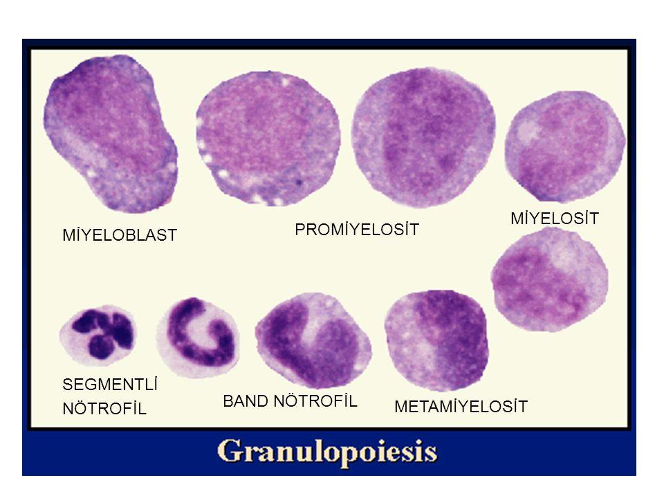 NÖTROFİL GELİŞİMİ Miyeloblast Promiyelosit Miyelosit Metamiyelosit Band şekli Olgun Dolaşım Doku Mitotik Postmitotik 7.5 gün 6.5 gün 6 –24 saat 1-2 gün ETKİLİ BÜYÜME FAKTÖRLERİ 1.
