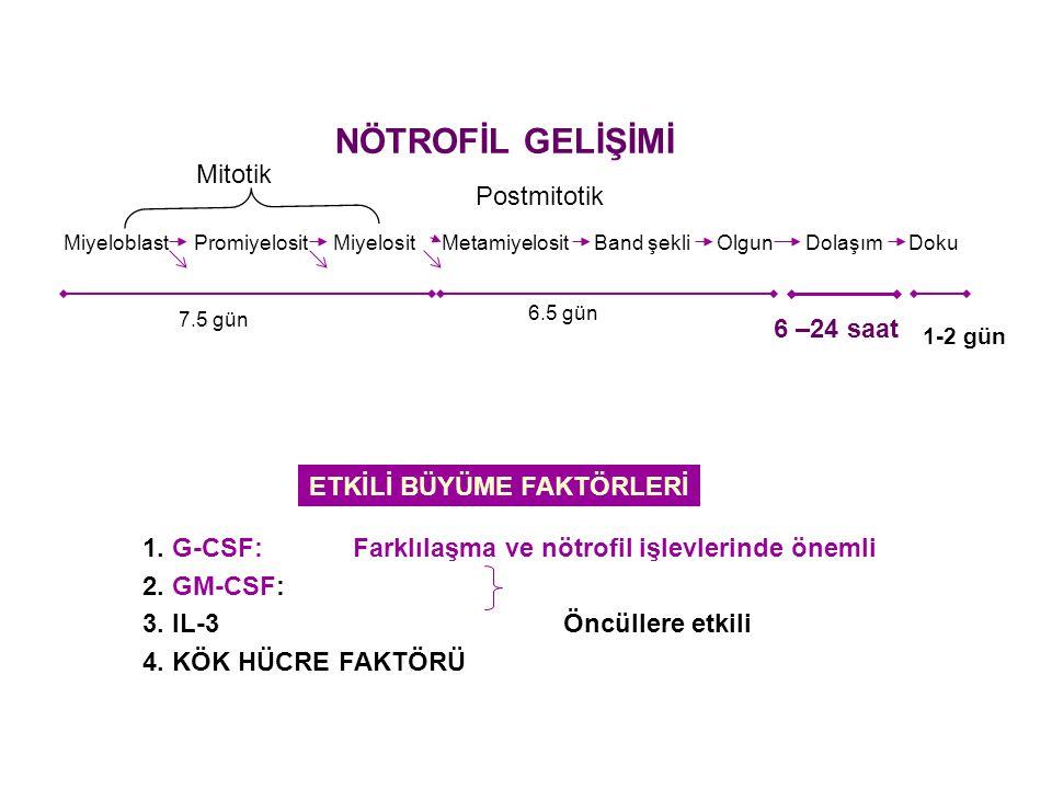 NÖTROFİL GELİŞİMİ Miyeloblast Promiyelosit Miyelosit Metamiyelosit Band şekli Olgun Dolaşım Doku Mitotik Postmitotik 7.5 gün 6.5 gün 6 –24 saat 1-2 gü