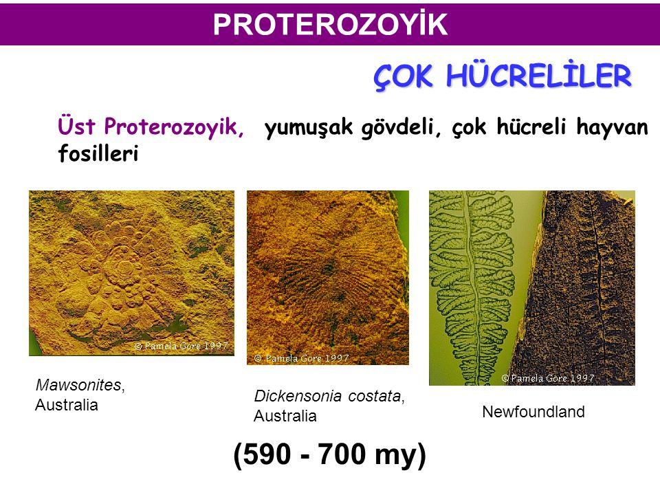 PROTEROZOYİK Üst Proterozoyik, yumuşak gövdeli, çok hücreli hayvan fosilleri Mawsonites, Australia Dickensonia costata, Australia Newfoundland (590 - 700 my) ÇOK HÜCRELİLER