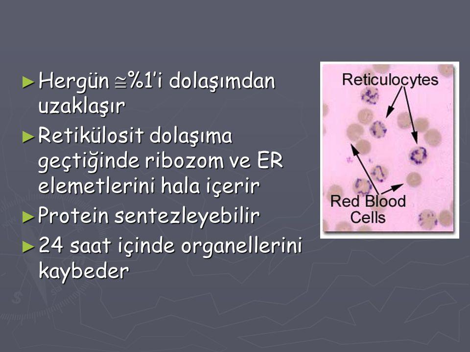► Hergün  %1'i dolaşımdan uzaklaşır ► Retikülosit dolaşıma geçtiğinde ribozom ve ER elemetlerini hala içerir ► Protein sentezleyebilir ► 24 saat için