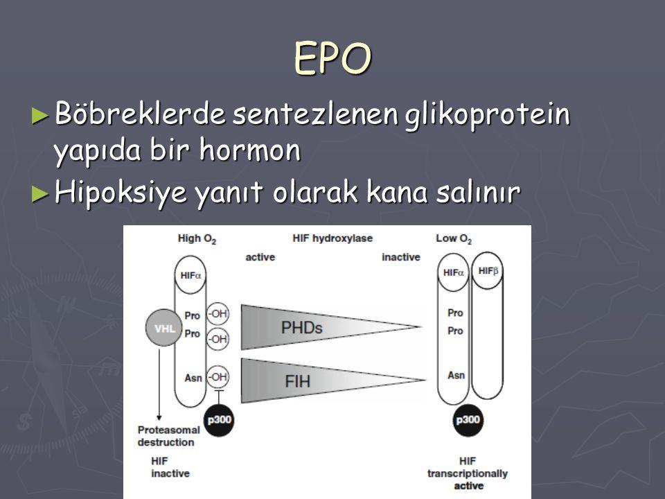 EPO ► Böbreklerde sentezlenen glikoprotein yapıda bir hormon ► Hipoksiye yanıt olarak kana salınır