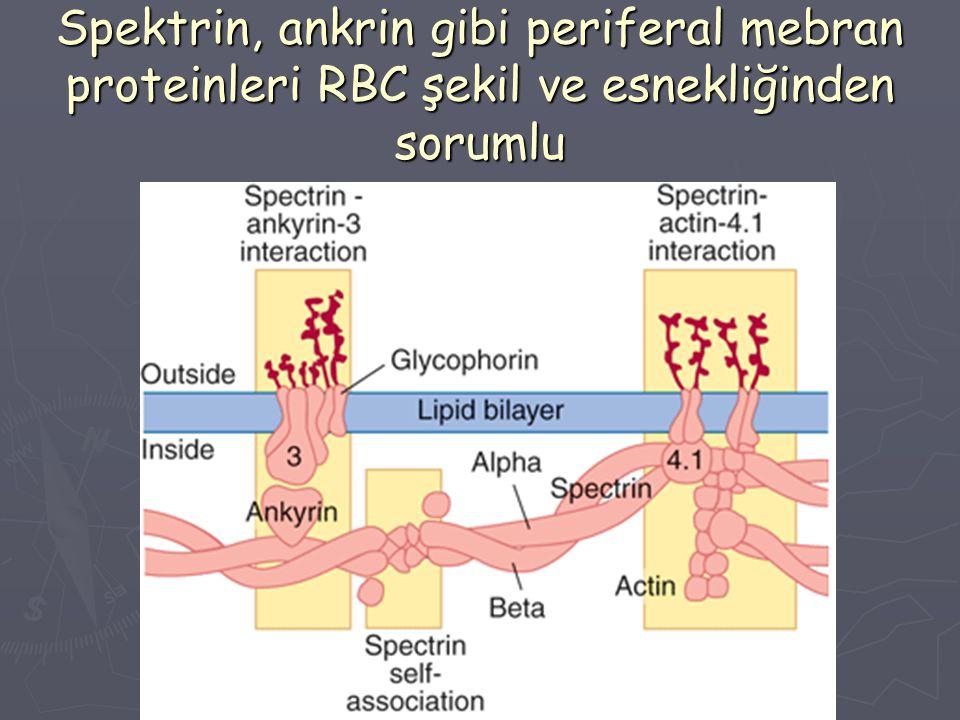 Spektrin, ankrin gibi periferal mebran proteinleri RBC şekil ve esnekliğinden sorumlu