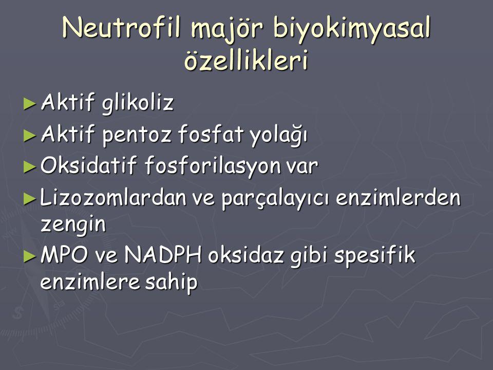 Neutrofil majör biyokimyasal özellikleri ► Aktif glikoliz ► Aktif pentoz fosfat yolağı ► Oksidatif fosforilasyon var ► Lizozomlardan ve parçalayıcı en