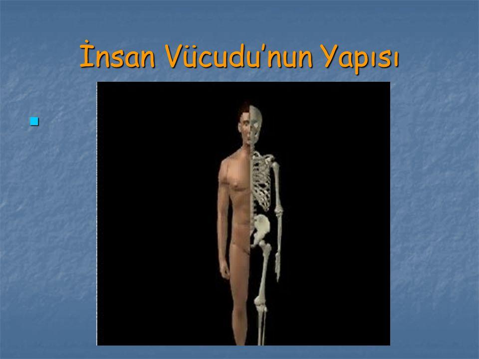 İnsan Vücudu'nun Yapısı
