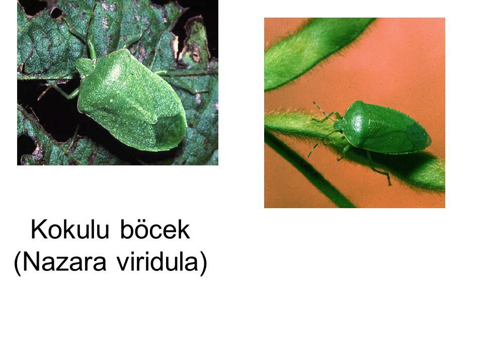 Kokulu böcek (Nazara viridula)