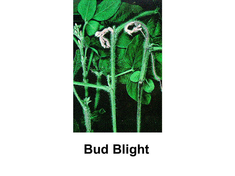 Bud Blight
