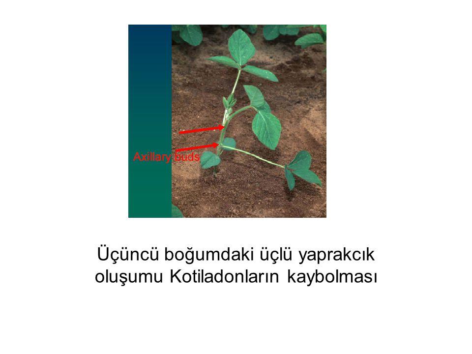 Üçüncü boğumdaki üçlü yaprakcık oluşumu Kotiladonların kaybolması