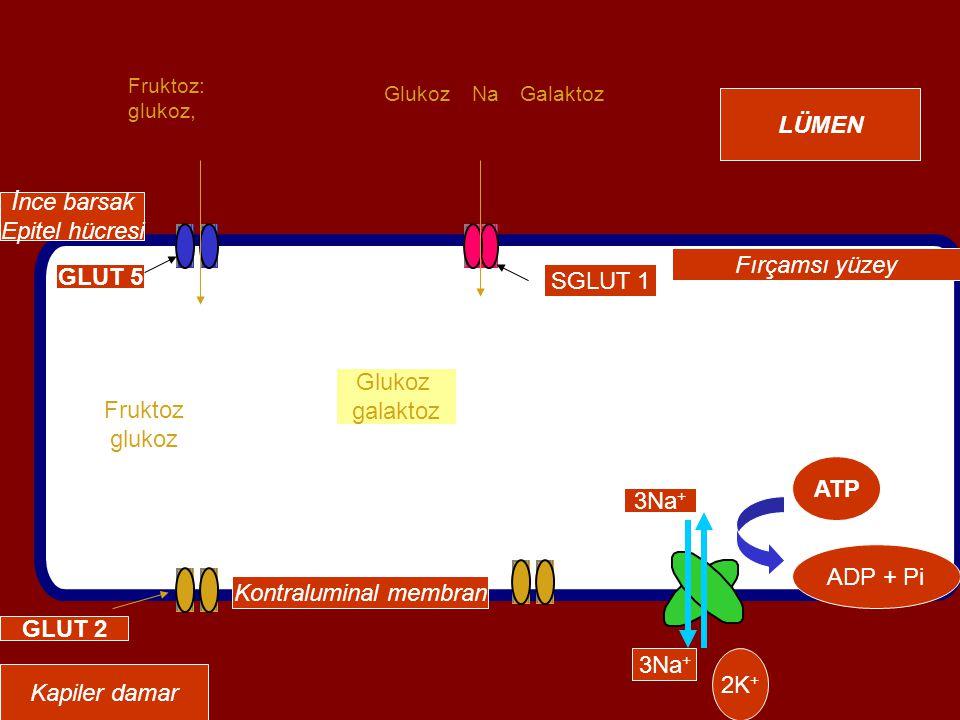 ATP ADP + Pi Kontraluminal membran Fırçamsı yüzey İnce barsak Epitel hücresi GLUT 2 GLUT 5 SGLUT 1 Fruktoz: glukoz, 3Na + 2K + GlukozNaGalaktoz 3Na + Fruktoz glukoz Kapiler damar LÜMEN Glukoz galaktoz