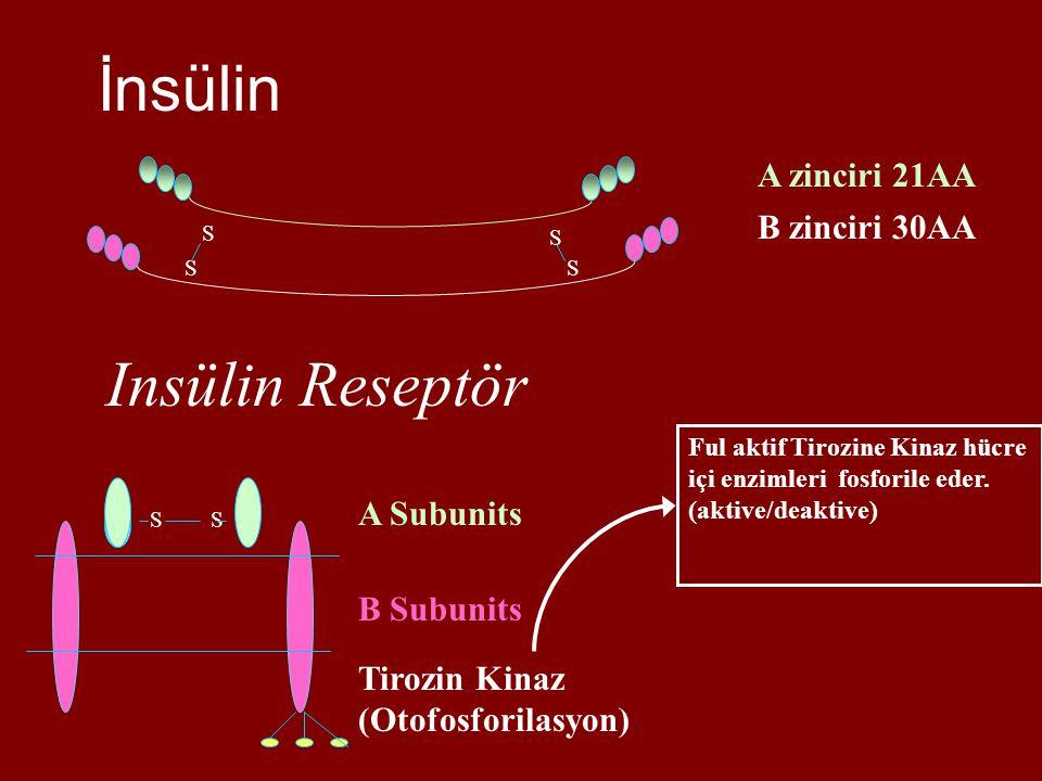 İnsülin A zinciri 21AA B zinciri 30AA S S S S Insülin Reseptör SS B Subunits A Subunits Tirozin Kinaz (Otofosforilasyon) Ful aktif Tirozine Kinaz hücre içi enzimleri fosforile eder.