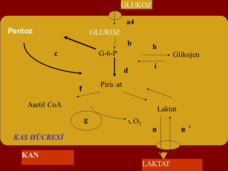 Asetil CoA CO 2 f GLUKOZ Pirüvat Pentoz a4 b c d g KAS HÜCRESİ Glikojen G-6-P Laktat e h i e ' GLUKOZ LAKTAT KAN