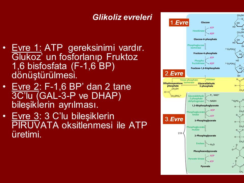Glikoliz evreleri Evre 1: ATP gereksinimi vardır. Glukoz' un fosforlanıp Fruktoz 1,6 bisfosfata (F-1,6 BP) dönüştürülmesi. Evre 2: F-1,6 BP' dan 2 tan
