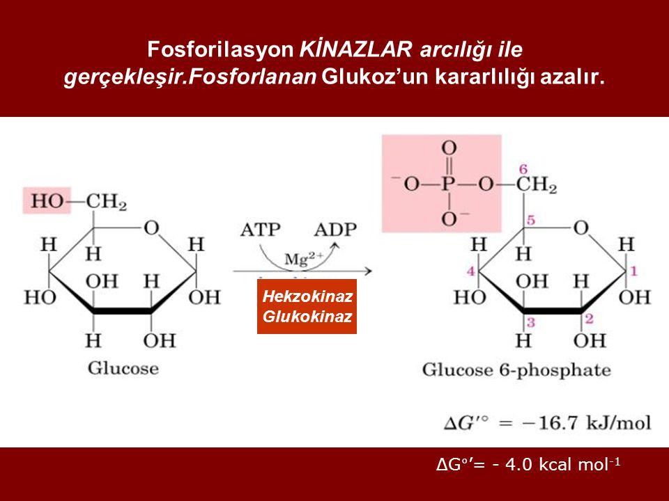 Fosforilasyon KİNAZLAR arcılığı ile gerçekleşir.Fosforlanan Glukoz'un kararlılığı azalır. ΔG°'= - 4.0 kcal mol -1 Hekzokinaz Glukokinaz