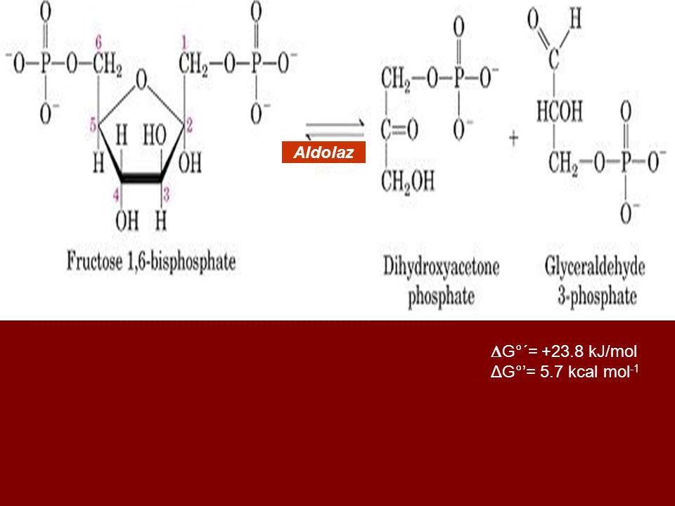  G°´= +23.8 kJ/mol ΔG°'= 5.7 kcal mol -1 Aldolaz