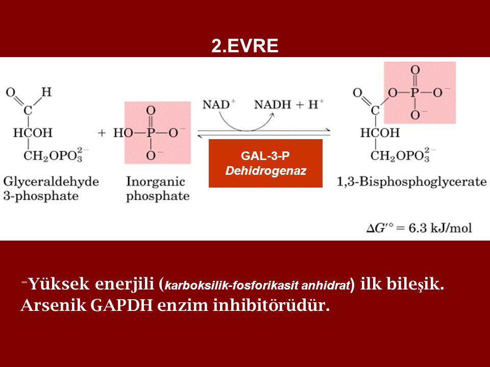 2.EVRE - Yüksek enerjili ( karboksilik-fosforikasit anhidrat ) ilk bile ş ik. Arsenik GAPDH enzim inhibitörüdür. GAL-3-P Dehidrogenaz