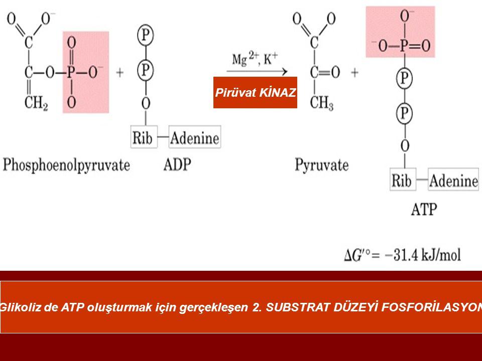 Pirüvat KİNAZ Glikoliz de ATP oluşturmak için gerçekleşen 2. SUBSTRAT DÜZEYİ FOSFORİLASYON