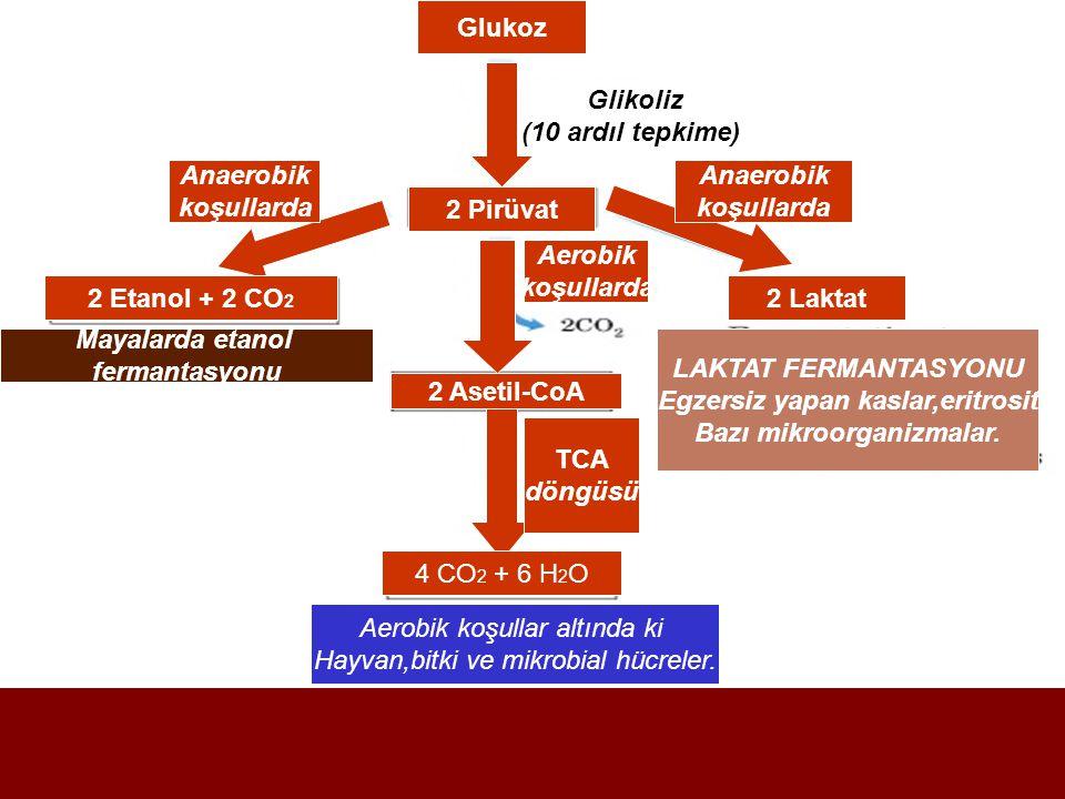 Glukoz Glikoliz (10 ardıl tepkime)) 2 Pirüvat Anaerobik koşullarda Anaerobik koşullarda 2 Etanol + 2 CO 2 Mayalarda etanol fermantasyonu Aerobik koşullarda 2 Asetil-CoA TCA döngüsü 4 CO 2 + 6 H 2 O Aerobik koşullar altında ki Hayvan,bitki ve mikrobial hücreler.