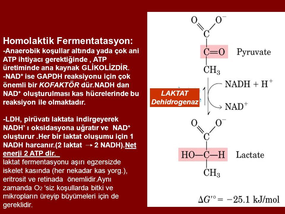 Homolaktik Fermentatasyon: -Anaerobik koşullar altında yada çok ani ATP ihtiyacı gerektiğinde, ATP üretiminde ana kaynak GLİKOLİZDİR.
