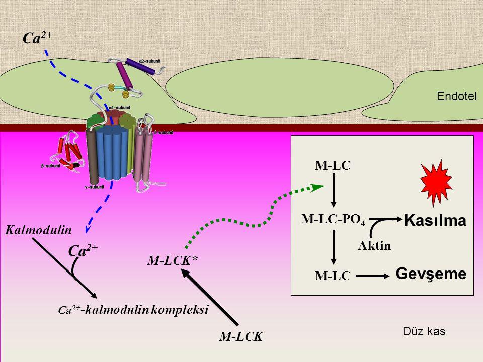 Kasılma Ca 2+ Kalmodulin Ca 2+ -kalmodulin kompleksi M-LCK M-LCK* M-LC M-LC-PO 4 M-LC Aktin Gevşeme Endotel Düz kas Ca 2+