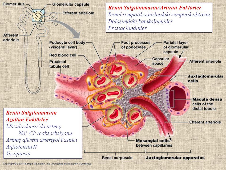 Renin Salgılanmasını Artıran Faktörler Renal sempatik sinirlerdeki sempatik aktivite Dolaşımdaki katekolaminler Prostaglandinler Renin Salgılanmasını