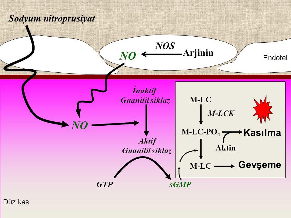 Arjinin Kasılma Sodyum nitroprusiyat NO İnaktif Guanilil siklaz Aktif Guanilil siklaz GTPsGMP M-LC M-LC-PO 4 M-LC M-LCK Aktin Gevşeme Endotel Düz kas