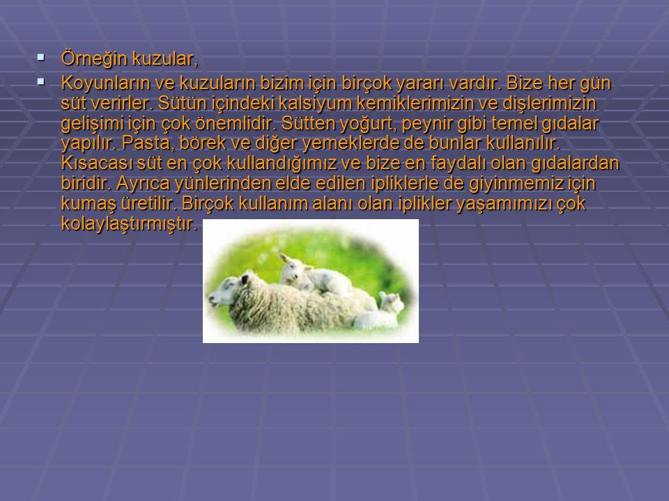  Örneğin kuzular,  Koyunların ve kuzuların bizim için birçok yararı vardır. Bize her gün süt verirler. Sütün içindeki kalsiyum kemiklerimizin ve diş