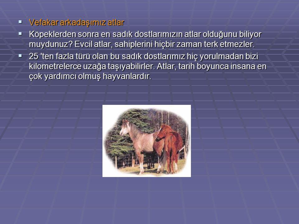  Vefakar arkadaşımız atlar  Köpeklerden sonra en sadık dostlarımızın atlar olduğunu biliyor muydunuz? Evcil atlar, sahiplerini hiçbir zaman terk etm