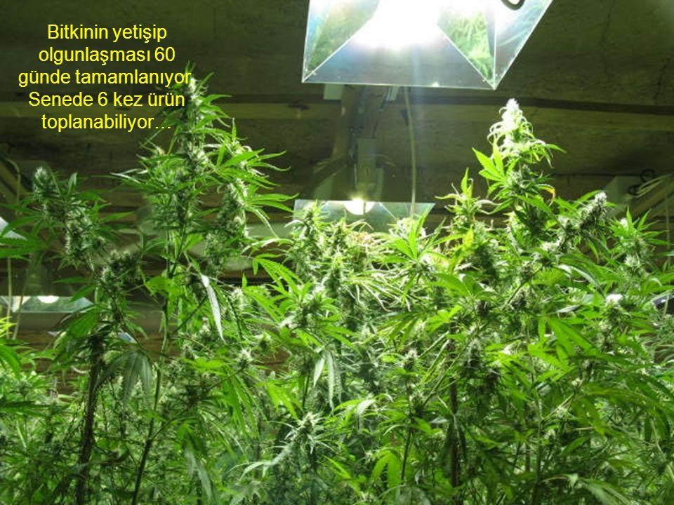 Bitkinin yetişip olgunlaşması 60 günde tamamlanıyor. Senede 6 kez ürün toplanabiliyor…