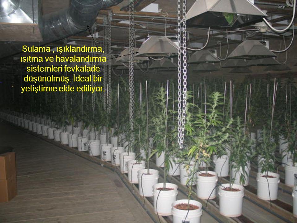 Sulama, ışıklandırma, ısıtma ve havalandırma sistemleri fevkalade düşünülmüş. İdeal bir yetiştirme elde ediliyor.