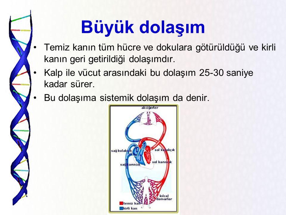 Vücudumuzdaki kan dolaşımı nasıldır? Büyük dolaşım (sistematik dolaşım) Küçük dolaşım (akciğer dolaşımı)