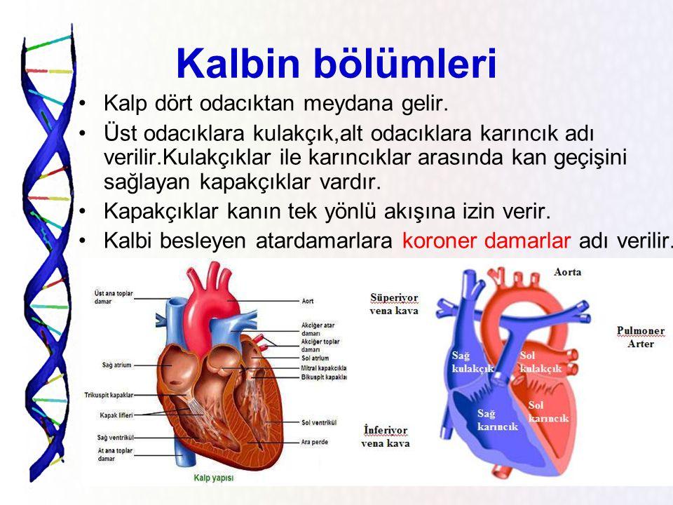 Kalbimizin anatomik özellikleri Yetişkin insanda kalbin ağırlığı ortalama 250 – 300 gramdır. Yetişkin bir bireyin kalbi kendi yumruğu kadardır. Kalp d