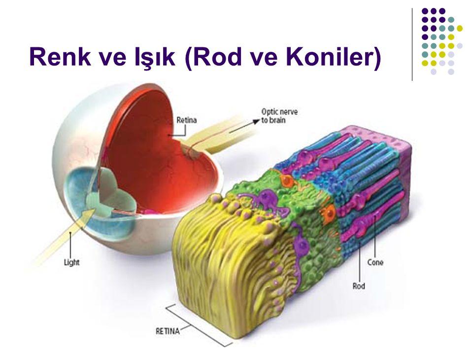 Renk ve Işık (Rod ve Koniler)