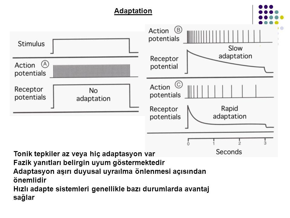 Adaptation Tonik tepkiler az veya hiç adaptasyon var Fazik yanıtları belirgin uyum göstermektedir Adaptasyon aşırı duyusal uyraılma önlenmesi açısından önemlidir Hızlı adapte sistemleri genellikle bazı durumlarda avantaj sağlar