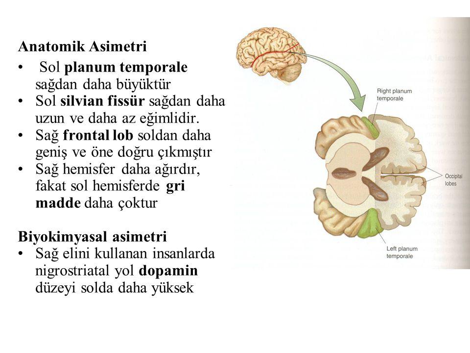 Anatomik Asimetri Sol planum temporale sağdan daha büyüktür Sol silvian fissür sağdan daha uzun ve daha az eğimlidir. Sağ frontal lob soldan daha geni