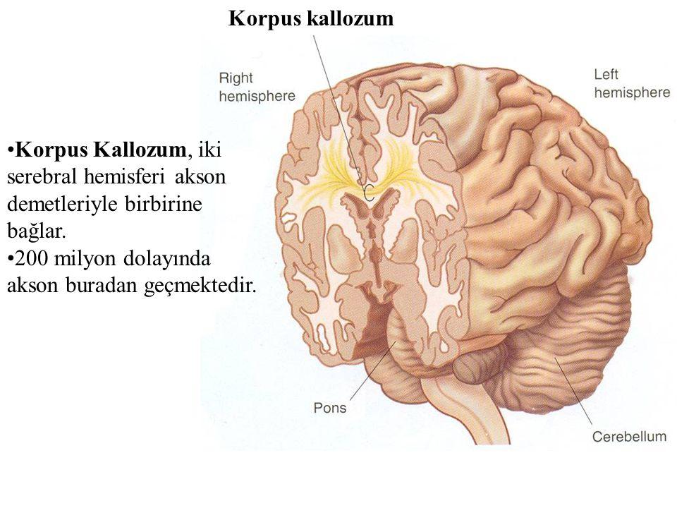 Korpus Kallozum, iki serebral hemisferi akson demetleriyle birbirine bağlar. 200 milyon dolayında akson buradan geçmektedir. Korpus kallozum