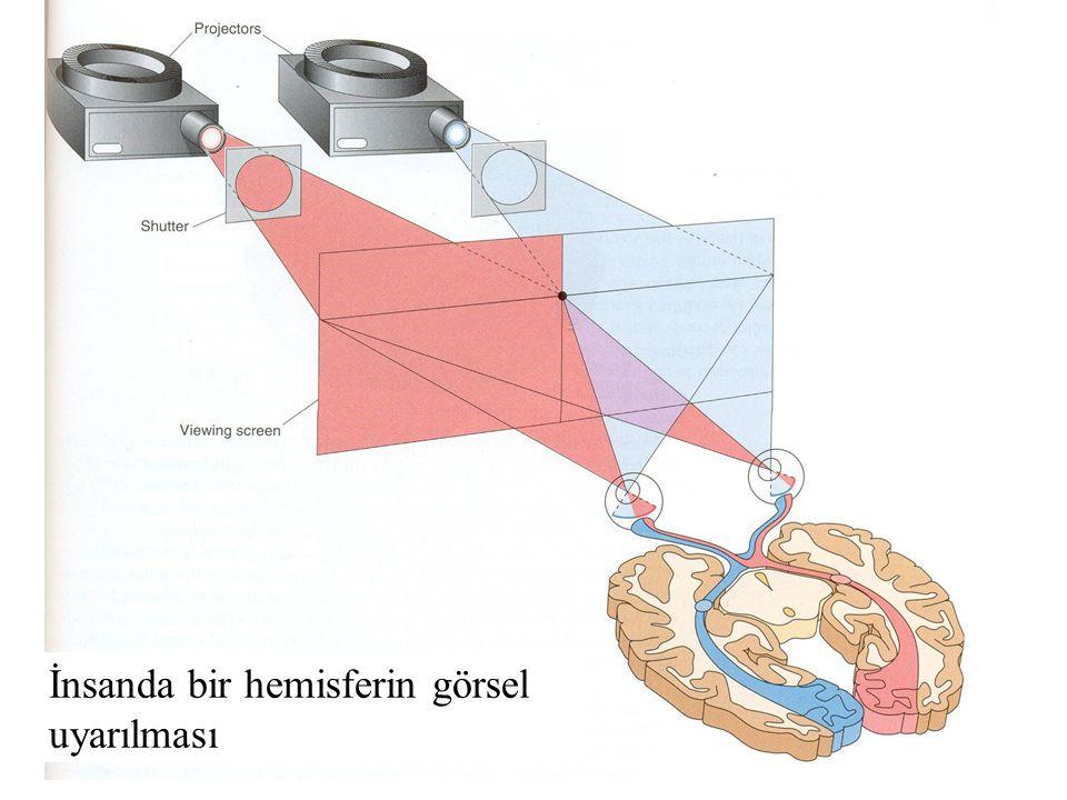 İnsanda bir hemisferin görsel uyarılması