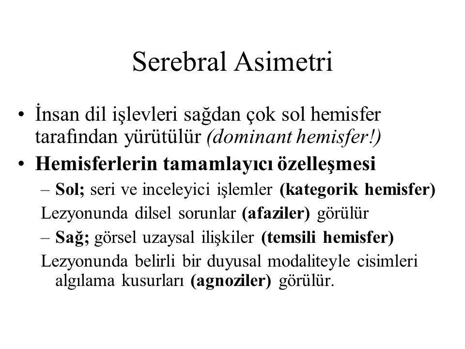Serebral Asimetri İnsan dil işlevleri sağdan çok sol hemisfer tarafından yürütülür (dominant hemisfer!) Hemisferlerin tamamlayıcı özelleşmesi –Sol; se