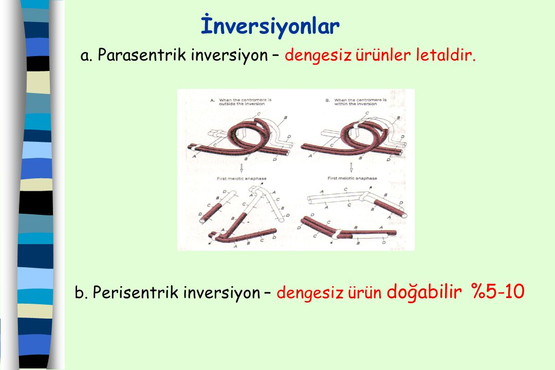 İnversiyonlar a. Parasentrik inversiyon – dengesiz ürünler letaldir. b. Perisentrik inversiyon – dengesiz ürün doğabilir %5-10