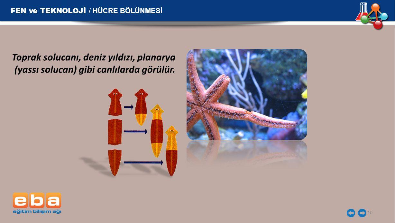 10 FEN ve TEKNOLOJİ / HÜCRE BÖLÜNMESİ Toprak solucanı, deniz yıldızı, planarya (yassı solucan) gibi canlılarda görülür.