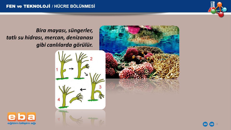 8 FEN ve TEKNOLOJİ / HÜCRE BÖLÜNMESİ Bira mayası, süngerler, tatlı su hidrası, mercan, denizanası gibi canlılarda görülür.