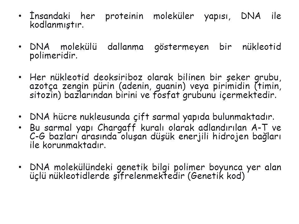 DNA  RNA  Protein Çekirdek DNA bazları mRNA DNA Protein Ribozom Hücre membranı Gen aa zinciri